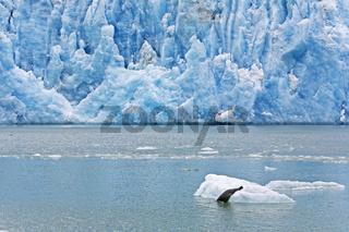 Seehund gleitet von einer Eisscholle