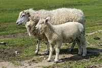 Texelmutterschaf mit Lamm