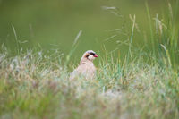 chukar partridge in grass