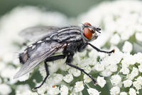 Common insect bottle fly, insect wildlife