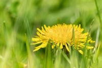 Dandelion hiding in the grass