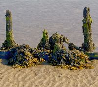 Bladderwrack (Fucus vesiculosus),North Frisia,North Sea,schleswig-Holstein,Germany
