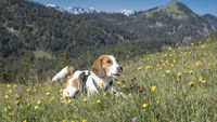 Beagle on a blooming mountain meadow