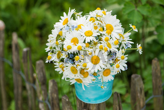 Marguerite flowers bouquet in a garden
