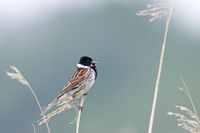 Common Reed Bunting male on his song post / Emberiza schoeniclus