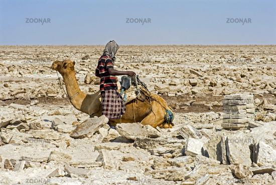Afar shepherd loading a dromedary with salt plates, Danakil Depression, Afar Region, Ethiopia