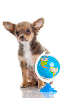 Funny puppy Chihuahua. puppy with a  globe isolate