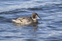 northern pintail male swimming near the shore in winterr day