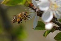 Biene bestaeubt Blueten
