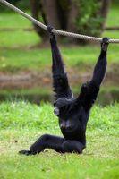 Black-headed Spider Monkey hangs on a rope in a German park