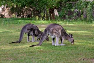 Two kangaroos eating grass