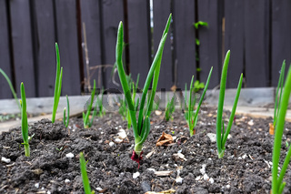 Ground view of onion greens growing in a garden