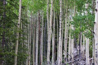 Colorado Aspen tree in a forest in the summer time