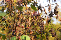 Dried elderberry bush and berries due to heat and lack of water in August 2020