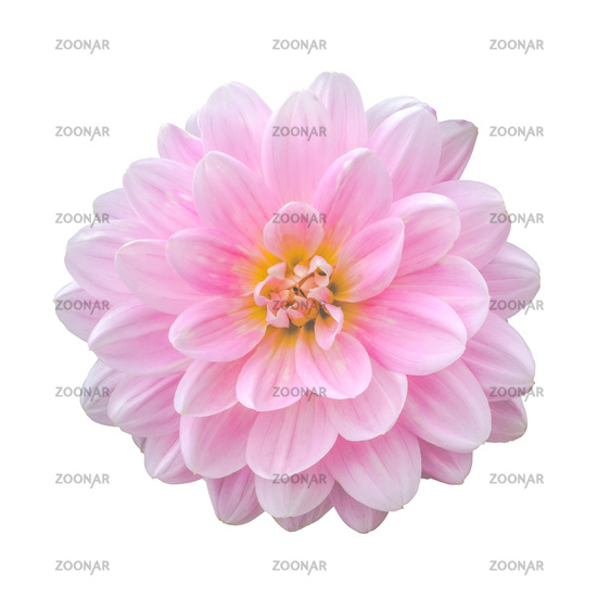 Isolated Pink Dahlia Flower
