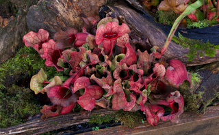 Beautiful red leaved pitcher plant with stunning foliage in winter
