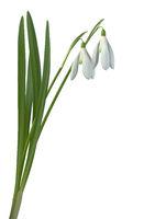 Galanthus nivalis Common Snowdrop Flowers Cutout