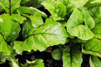 Closeup view of green beet leaves with water droplets