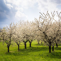 Blooming cherry trees in Burgenland
