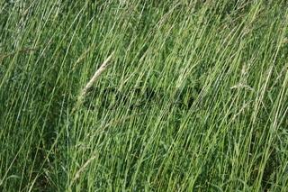 langes Gras