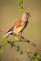Female common linnet perched on tree twig in vertical composition at sunrise