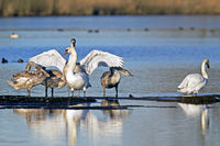 Mute Swan family / Cygnus olor