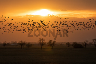 flying flock Greylag goose, Hortobagy Hungary