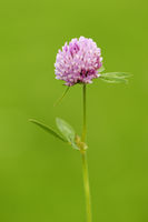 Red Trifolium pratense on green