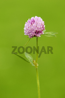 Red Trifolium pratense on green