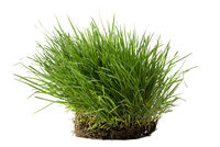 Tuft of grass isolated against white background