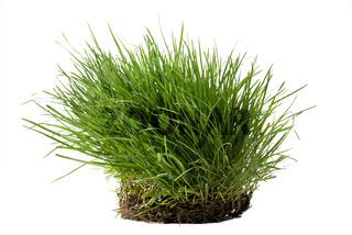 Grasbüschel freigestellt vor weißem Hintergrund
