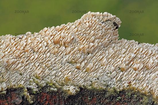 Toadstool (Cerocorticium molare)