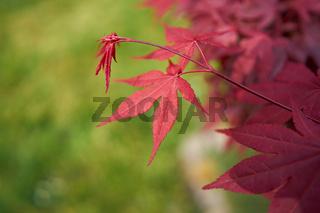 Blätter eines Korallen-Ahorn (Acer palmatum 'Corallinum')