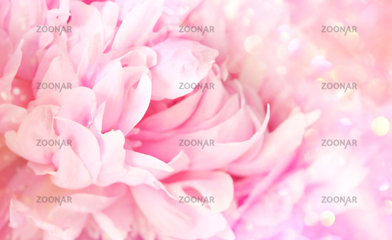 Closeup of peony flower on soft pastel background