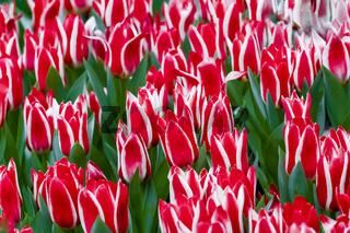 Rotweisse Greigii Tulpen Plaisir