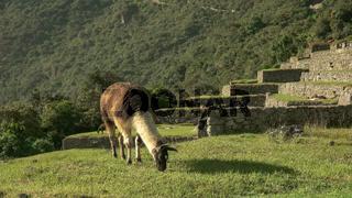 brown and white llama grazing at machu picchu