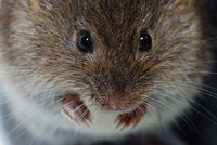 young little brown mouse face large view