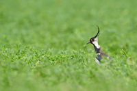 Northern lapwing at Lake Neusiedl