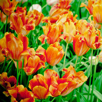 beautiful tulips.spring flowers