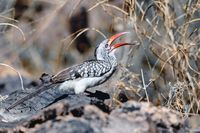 bird red-billed hornbill, Namibia, Africa wildlife