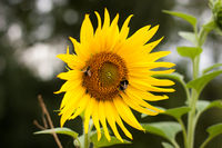 Bee and bumbelbee on a sunflower