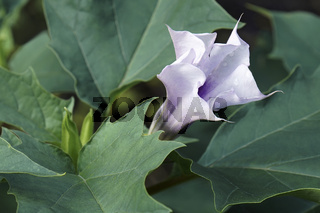 Close-up image of Jimsonweed flower and leaves