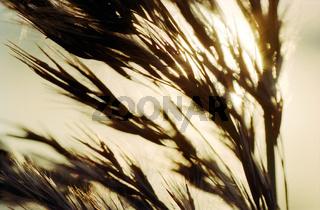 Reed in warm sunlight