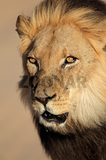 Portrait of a big male African lion (Panthera leo)