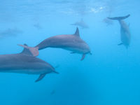 Flock of dolphins playing in the blue water near Mafushi island, Maldives