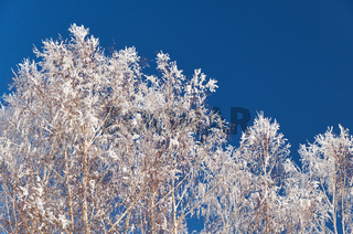 Birch crowns covered with frost and snow against the background of a clear blue sky