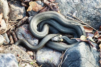 Common Grass-snake (Natrix natrix) from East Baltic sea
