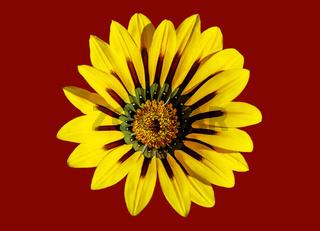 Gelbe Blüte einer Gazania freigestellt auf rotem Hintergrund