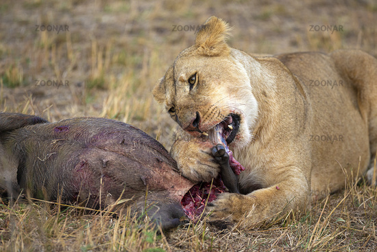 Lioness with Kill, Maasai Mara National Reserve, Kenya, Africa