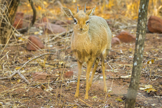 A Dik dik antelope in the Waterberg Plateau National Park in Namibia.